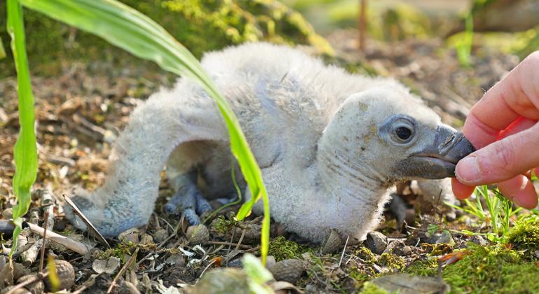 aves rapaces en Puy du Fou