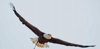 Águila volando en espectáculo de aves Cetrería de Reyes de Puy du Fou España