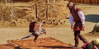 """Ave en espectáculo de aves """"Cetrería de reyes"""" de Puy du Fou España"""